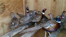 22+ Fertile Ringneck Pheasant Game Bird Hatching Eggs For Incubation