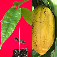 Yellow Theobroma Cacao Cocoa Chocolate Tropical Fruit Tree Potted Plant 8-13""