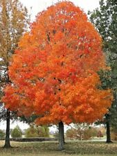 *Special* Canadian Sugar Maple,(ACER saccharum) Fresh Seeds From Canada