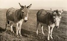2 Scilly Asses Donkey Scilly Isles unused RP old pc James Gibson
