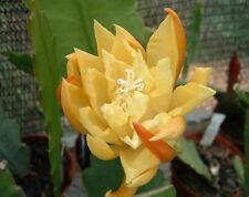 "Epiphyllum Blattkakteen Hybride "" Cinderella """