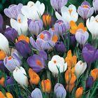 Bolly Bulbs® Spring Flowering Crocus Bulbs Mixed/Individual Colours 12/25/50/100