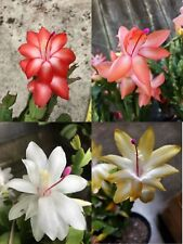 Yellow/Peach/ Red/White Thanksgiving Cactus 4 Plant Cuttings succulent