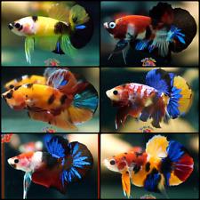 New listing Live Betta Fish Set x6 Fancy Koi Halfmoon Plakat Males Mixed