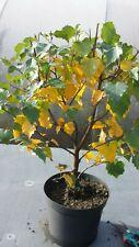Birken-Bonsai,  Birkenbaum , Betula  sp.  im 2 Liter Topf