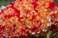 30+ CELOSIA CRISTATA KURUME CORONA COCKSCOMB FLOWER SEEDS / BI-COLOR