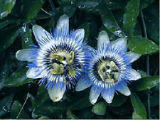10+ Passiflora Caerulea Blue Passion Flower Seeds