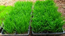 US Seller Non GMO Wheatgrass Seeds 100 seeds to 1lb