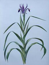 Iris Antique Botanical Print 1913 Iris Warleyensis, W.R. Dykes