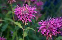 beebalm, PURPLE BEE BALM, flower, Monarda, 100 SEEDS! GroCo* buy US USA