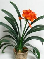 100Pcs Bonsai Clivia Flower Seeds Rare 5 Kinds Flowers  Potted Clean Air Home
