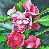 CAMELLIA FLOWERED BALSAM SEED MIXED COLOURS HARDY FLOWERING 50 SEEDS