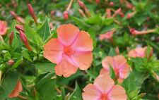 Four O'Clock Seeds - SALMON SUNSET - Mirabilis Jalapa - Hummingbirds - 15 Seeds