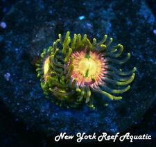 New York Reef Aquatic - 0611 D2 Rr Kraken Zoanthid, Zoa, Wysiwyg Live Coral