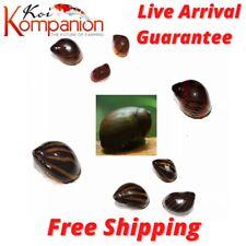 Assorted Nerite Snails Algae Eaters Beginner KoiKompanion Free Shipping
