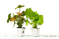 "2 Different Syngonium Plants - Arrowhead Plant - FREE Care Guide - 4"" Pot"
