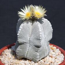 Astrophytum Multicostatum Onzuka 5 rare cactus exotic succulent plant 20 Seeds