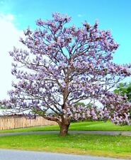 Paulownia Elongata exotic royal empress flowering tree wood bonsai seed 10 seeds