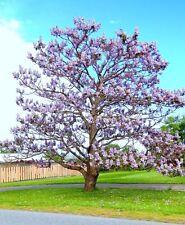 Paulownia Elongata exotic royal empress flowering tree wood bonsai seed 10 seeds