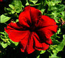 100 graines de PETUNIA ROUGE ( Petunia Hybrida SCARLET RED) X90 SEEDS SEMI SAMEN