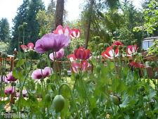 Premium Mix Papaver Somniferum Poppy Seeds Huge Variety 1000 *Shelley Exclusive