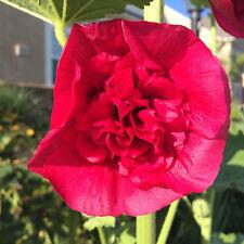 50+ Seeds Hollyhock Rose Red Double Flowers 2018 Harvest Hardy Biennial