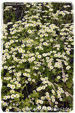 Tanacetum parthenium 'Feverfew' [Ex. Co. Durham] 1500+ SEEDS