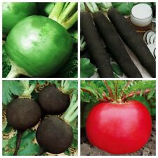 Seeds Radish Margelanica Cylinder Black Winter Red Giant Vegetable Organiс