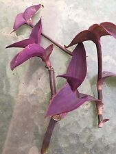 "Wandering JEW 8 PLANT CUTTINGS sizes from 2-6""  ** FREE SHIPPING** DEEP PURPLE"