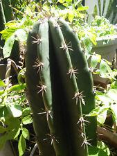 Cereus Peruvianus Cactus : Peruvian Apple Edible Fruit : Permaculture Perennial