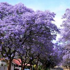 100X Royal Empress Princess Tree Purple Paulownia Tomentosa Seed Fastest Growing