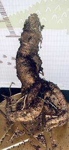 Mandrake | Mandragora (Med/Large) 'The Phallic One' Whole Root. Alter Wiccan