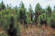 Pinus yunnanensis YUNNAN PINE TREE Seeds!