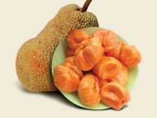 Orange Jack Fruit Seeds Sri Lanka Rare Honey Jack Fruit Viable Seeds 10pcs