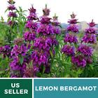 Bee Balm, Lemon Bergamot - 200 Seeds - Culinary & Medicinal Herb
