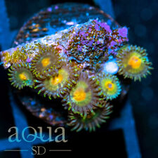 New listing Asd - 045 Prime Time Zoanthids - Wysiwyg - Aqua Sd Live Coral Frag