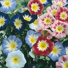 6x Plug Plants Plectranthus ciliatus Nico Perennial mild frost resist