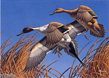 MINNESOTA #3 1979 STATE DUCK STAMP PRINT PINTAILS by David Maass List