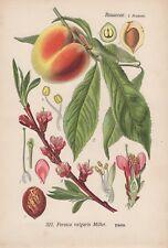 3x Plattpfirsich Pfirsich Prunus persica var platycarpa Samen Obst #354