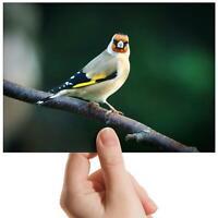 "Goldfinch Bird Watch Twitcher Small Photograph 6""x4"" Art Print Photo Gift #16219"