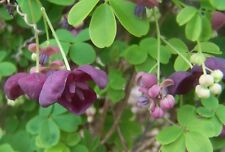 Lot of 2 Rooted Starter Plants Fruitful Combo Fiveleaf Akebia Quinata