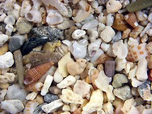 Holocene LORD HOWE ISLAND microfossil gastropod snail sample Very Rare material