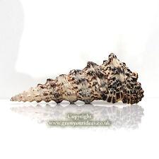 Cerith Giant knobbed Cerithium nodulosum for crafts, aquarium or wedding 8-10cm