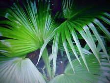 3 frische Palmen - Samen  Livistonia chilensis + 2 Samen Trachycarpus fortuneii