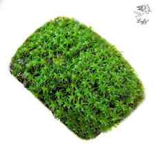 LUFFY Coco Star Moss- Plant on coconut shell Twinkle Twinkle Little Stars for Be