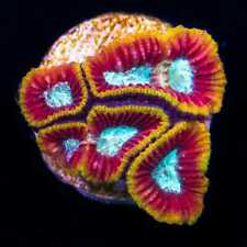 Wwc Ultron Favia ~ World Wide Corals - Live Coral Frag