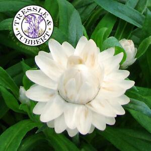 Rare Strawflower Silver White Flower 50 seeds  UK SELLER