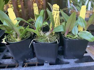 Dendrobium laevifolium 'Diana ' X '#7 ' Miniature Orchid Species