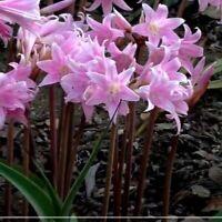 Set of 1-2-3 Bulbs Amaryllis Belladonna Lily Pink Naked Ladies Plant