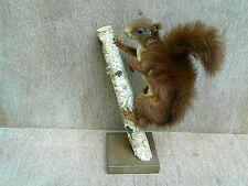Ecureuil roux d Europe scène naturelle Taxidermie sujet de 1985